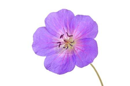 Single flower of a geranium cultivar