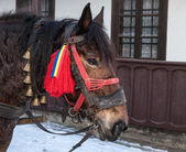 Profile of a Traditional Romanian Horse