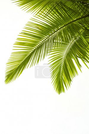 Photo for Plam leaves isolated on the white background - Royalty Free Image