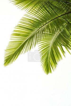 Photo pour Feuilles de palourdes isolées sur fond blanc - image libre de droit