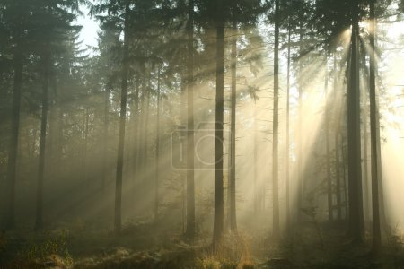Photo for Coniferous forest on a misty autumn morning. - Royalty Free Image