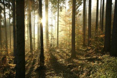 Photo pour Automne forêt de conifères dans les montagnes du Sud polonais par un matin brumeux. - image libre de droit
