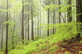 Early spring forest in the fog