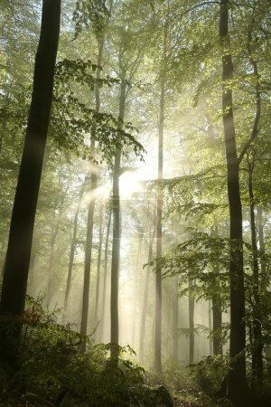 Sunbeams fall into the spring forest on a misty mo...
