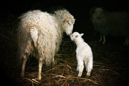 Photo pour Moutons avec un agneau debout à l'entrée de la grange. L'instinct maternel - image libre de droit