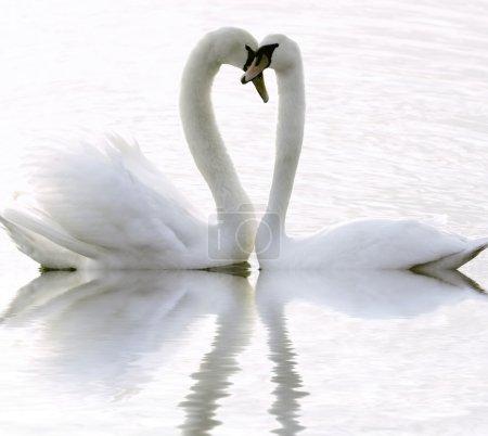 Photo pour Cygnes amoureux - image libre de droit
