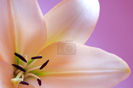 Close up view of nice fresh Madonna lily flower