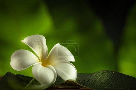 Close up view of frangipani flower