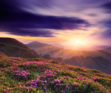 Photo pour Paysage de printemps avec un beau coucher de soleil dans les montagnes et les fleurs de rhododendron - image libre de droit