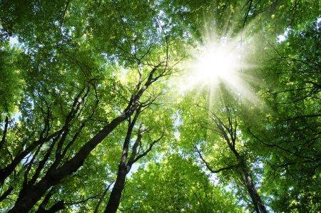 Photo pour Forêt de hêtres au printemps avec le soleil dans les arbres - image libre de droit