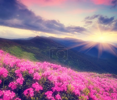 Photo for Summer landscape with flowers of rhododendron. Evening with a beautiful sky in the mountains. Glade of pink flowers. Soft effect. Color toning - Royalty Free Image