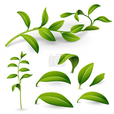 Illustration for Branch of a plant with green leaves isolated on white background. Vector illustration for design - Royalty Free Image