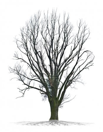Dead tree on white background in high definition
