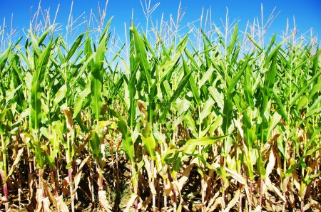 Photo for Rows of green maize in field - Royalty Free Image