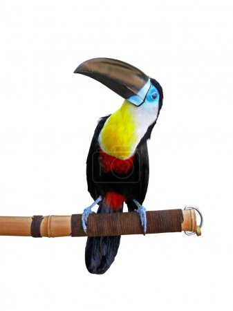 Beautiful toucan isolated on white