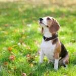 Beagle sitting in green grass...