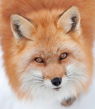 Photo pour Gros plan d'un jeune renard roux dans la neige, regardant la caméra. - image libre de droit