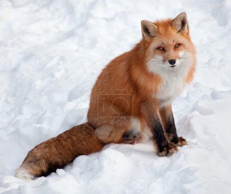 Photo pour Jeune renard roux dans la neige, en regardant la caméra. - image libre de droit