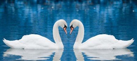 Photo pour Couple de cygnes symbolisant entendu - image libre de droit