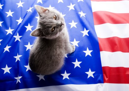 Photo pour British shorthair sur drapeau u.s.a - image libre de droit