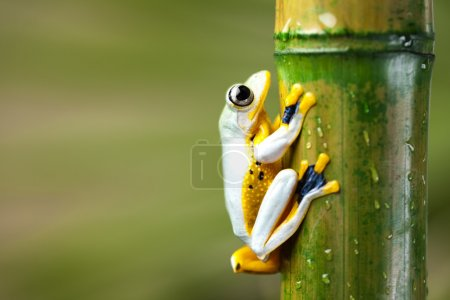 Frog on bamboo stem
