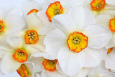 Narcissus Flower Beauty