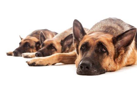 Three German Shepherds relaxing on the floor