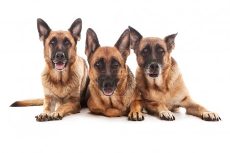 Three german shepherds