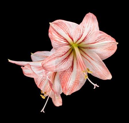 Amaryllis (Hipperastrum) flowers isolated on black