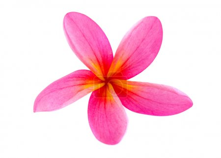 Frangipani flower isolated on white , super close up
