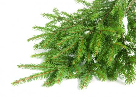 spruce over white