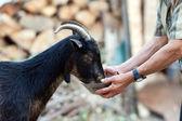 Senior woman feeding goat
