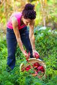 jeune femme cueillait des poivrons dans un panier