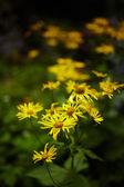 Wild yellow daisies