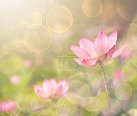 Photo pour Fleurs de Lotus dans le jardin sous le soleil. - image libre de droit