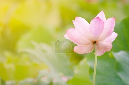 Photo pour Fleur de lotus matin dans la ferme sous les chaud rayons du soleil. - image libre de droit
