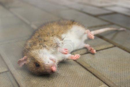 Ratte, giftiger Rauch