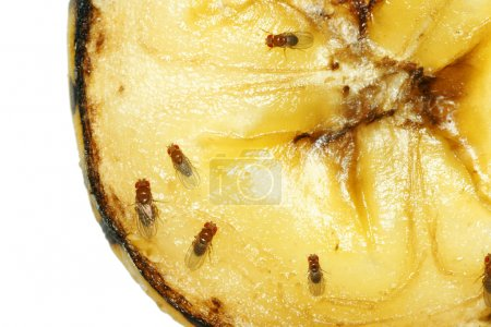 Photo for Macro of common fruit flies (Drosophila melanogaster) on piece of rotting banana fruit. - Royalty Free Image