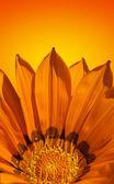 Pozadí světlé oranžové květiny
