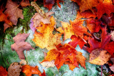 Fall maple leaves on forest floor