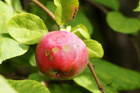 Diseased apple in tree