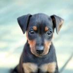 The Miniature Pinscher puppy, 1,5 months old...