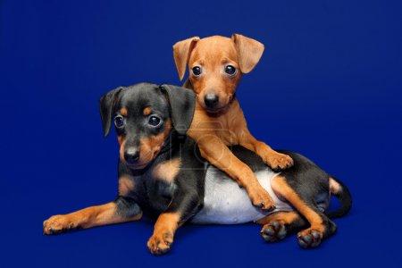 The Miniature Pinscher puppies, 2 months 1 week ol...