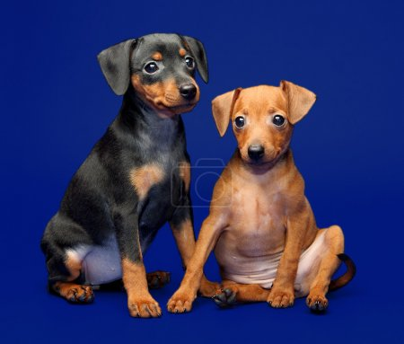 The Miniature Pinscher puppies, 2 months 1 week ol...