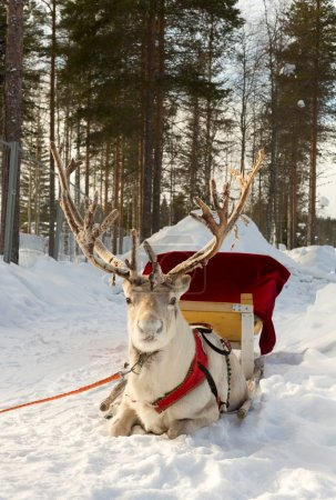 Photo for Reindeer, harnessed to a sled - Royalty Free Image