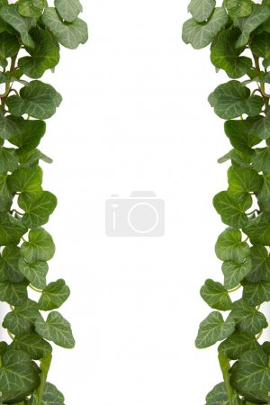 Photo for Green ivy twig on a white background - Royalty Free Image