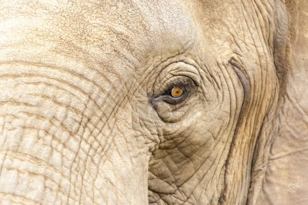 Photo for Elephants head close up - Royalty Free Image