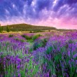 Sunset over a summer lavender field in Tihany, Hun...