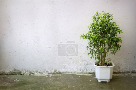 Small tree in white pot on  background concrete wall
