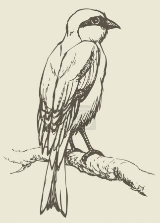 """Vector drawing of a series """"Birds"""". Lanius, typical shrike"""